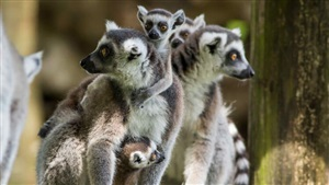 Ring-Tailed Lemurs at Busch Gardens Tampa Bay