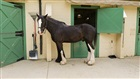 Visit our Clydesdale Horses at Highland Stables!
