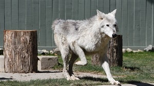 Visit our gray wolves at Wolf Haven!