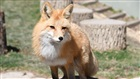 Red Foxes at Busch Gardens Williamsburg