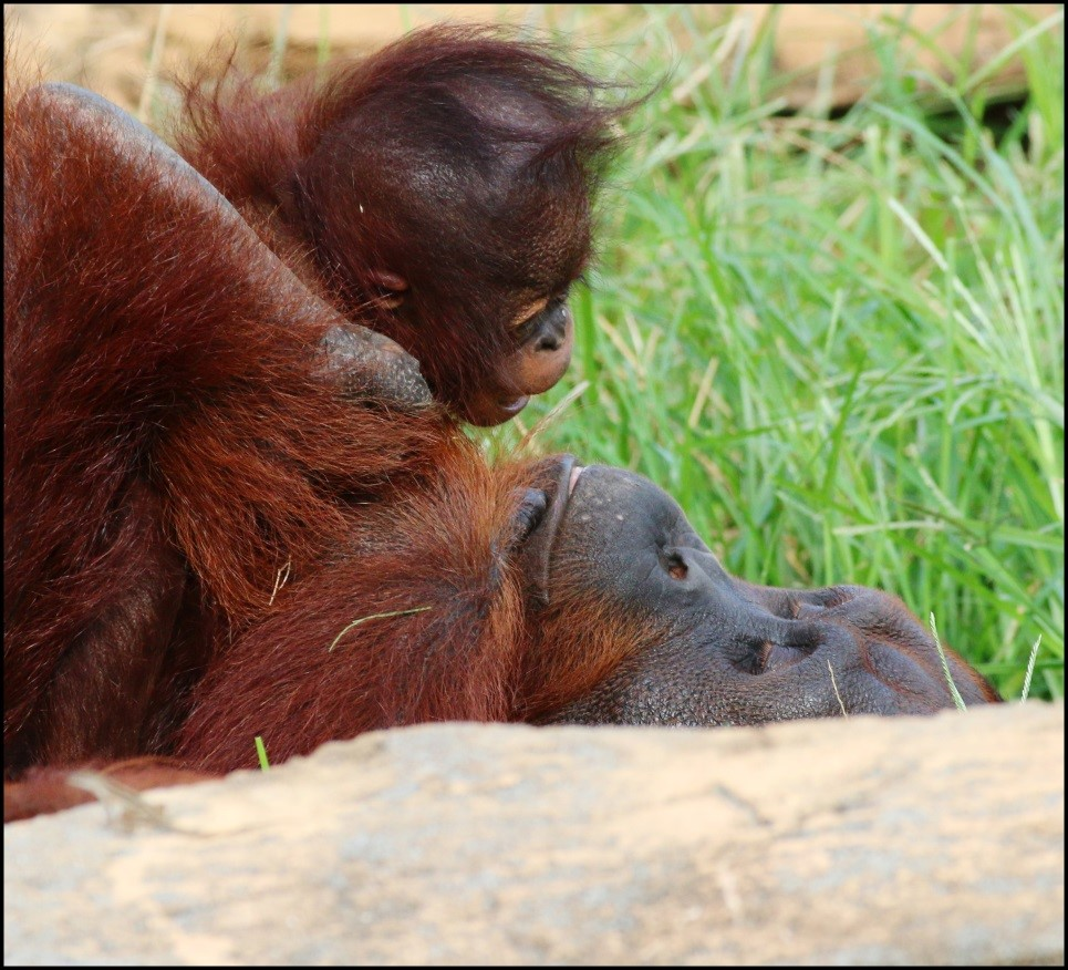 orangutan parent and offspring