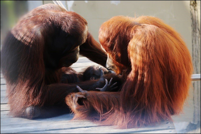 two orangutan parents and their offspring