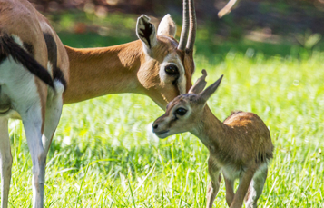 Grants Gazelles at Busch Gardens Tampa Bay