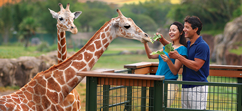 A couple feeds giraffes as part of the Serengeti Safari at Busch Gardens Tampa Bay in Florida