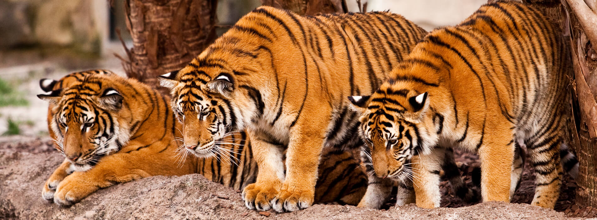 Tiger Tours - Exotic Animal Experience  Busch Gardens Tampa Bay